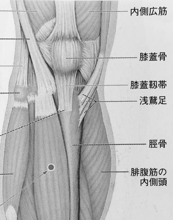 膝 筋肉イラスト