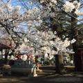 五ノ神神社のさくら